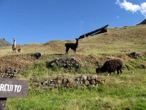 Llamas Chavin de Huantar